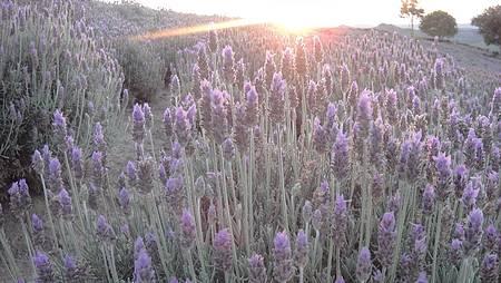 Visitar as plantações de lavanda - Amarelo e lilás se encontram ao pôr do sol
