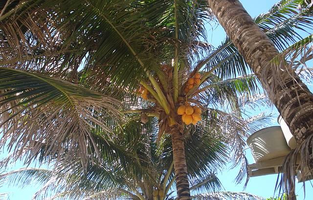 Coco Amarelo Medicinal
