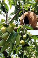 Circuito das Frutas: Caquis e casinhas de joão-de-barro enfeitam paisagem bucólica -