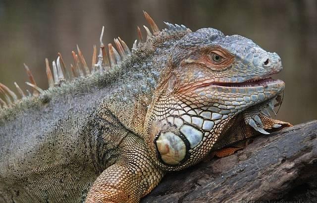 Iguana me olhando