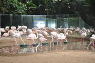 Flamingo do Parque das Aves