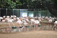 Flamingo do Parque das Aves