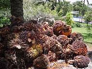 Fruta da região, que faz o azeite de dendê