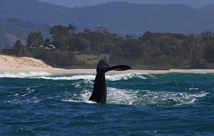 Baleias francas chegam à região no inverno e ficam até novembro