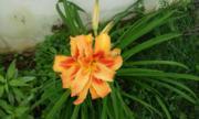 Liliene